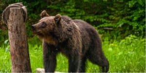 Ursi la statiunea Borsec